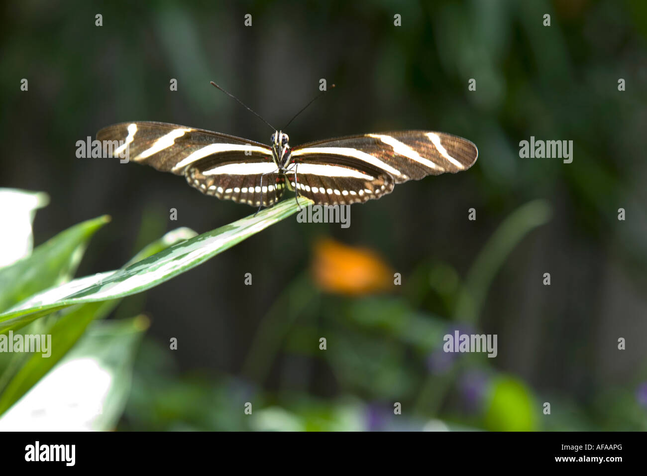 butterfly;fauna;invertebrate;botanical;exotic; - Stock Image