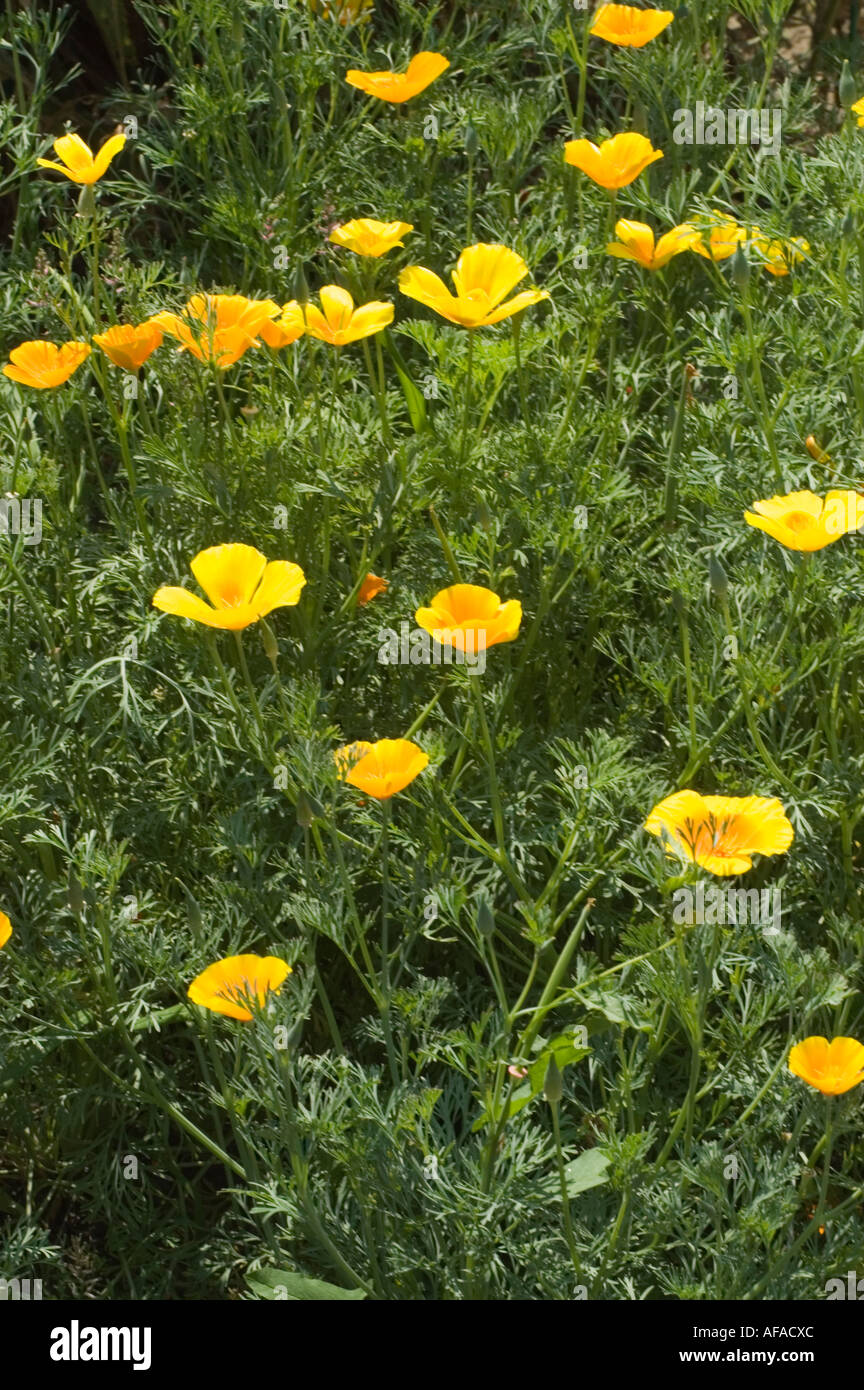 Yellow Flowers Of California Poppy Papaveraceae Eschscholtzia Stock