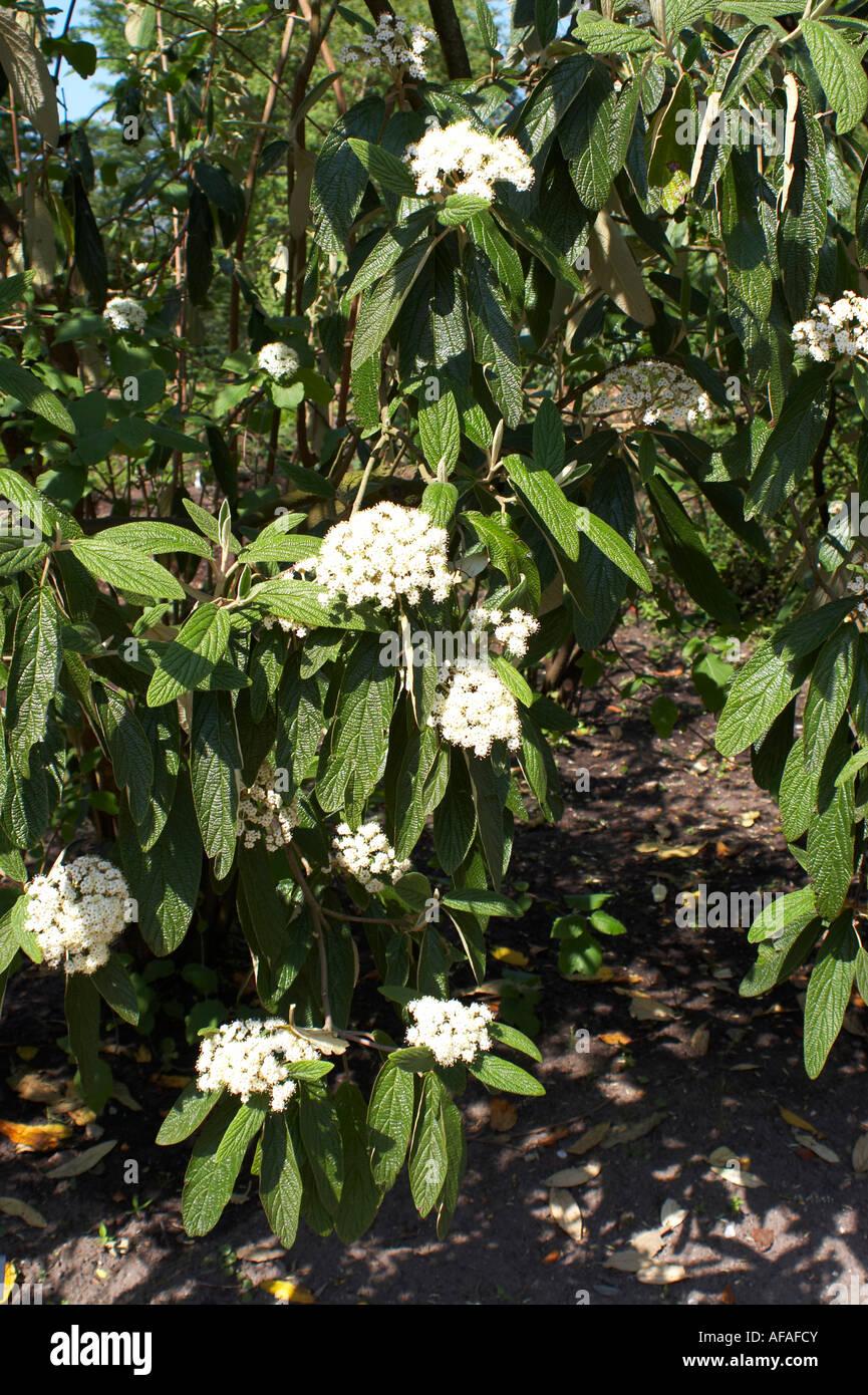 Viburnum rhytidophyllum Leatherleaf Viburnum - Stock Image