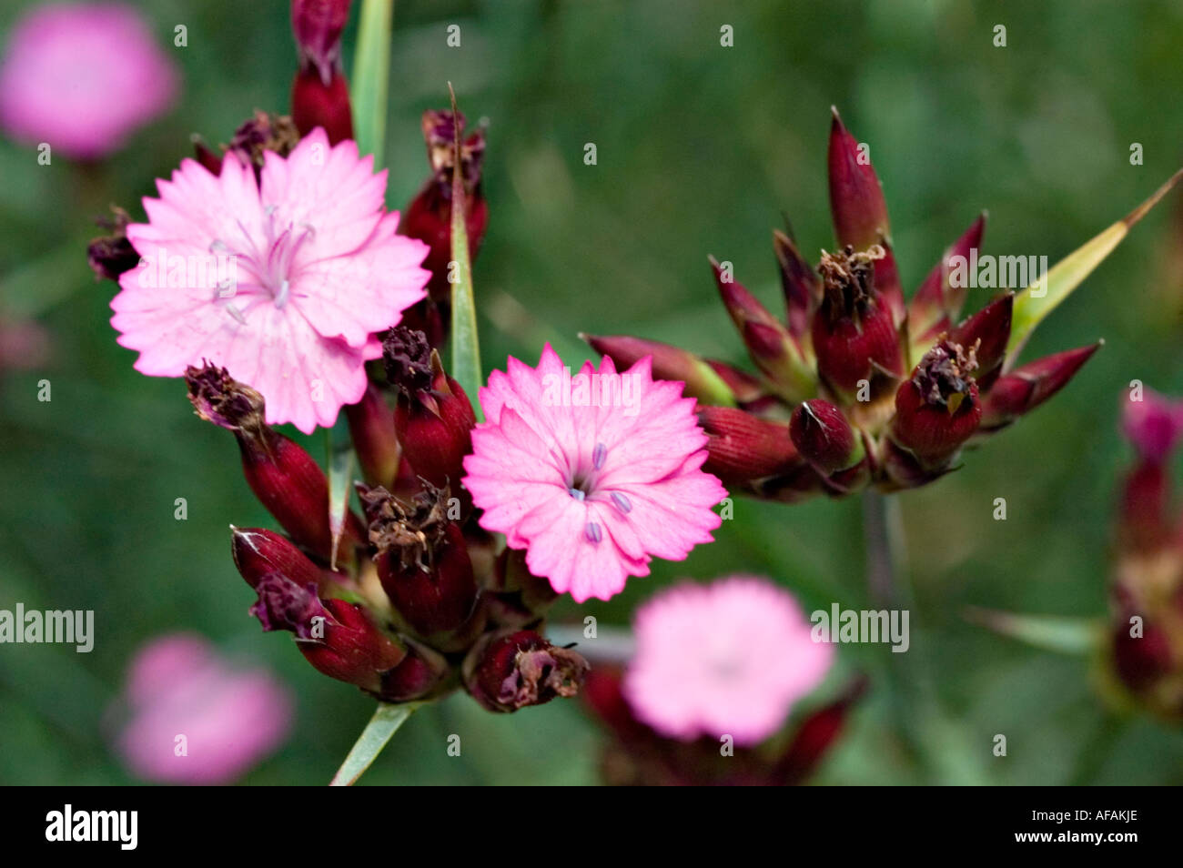 Giant Pink Flowers Caryophyllaceae Dianthus Stock Photos Giant