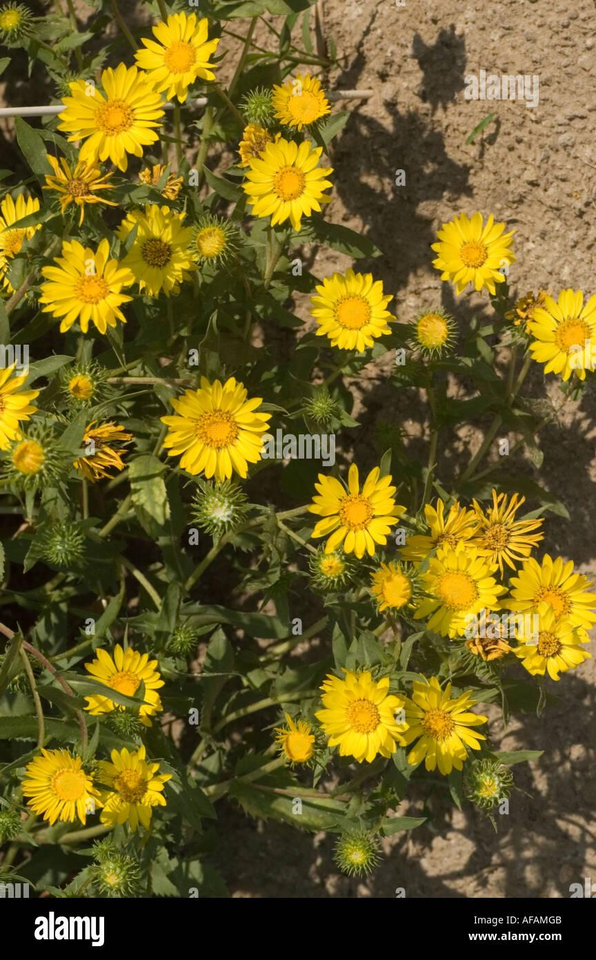 Many Yellow Flowers Of Hardy Grindelia Or Scaly Grindelia Asteraceae