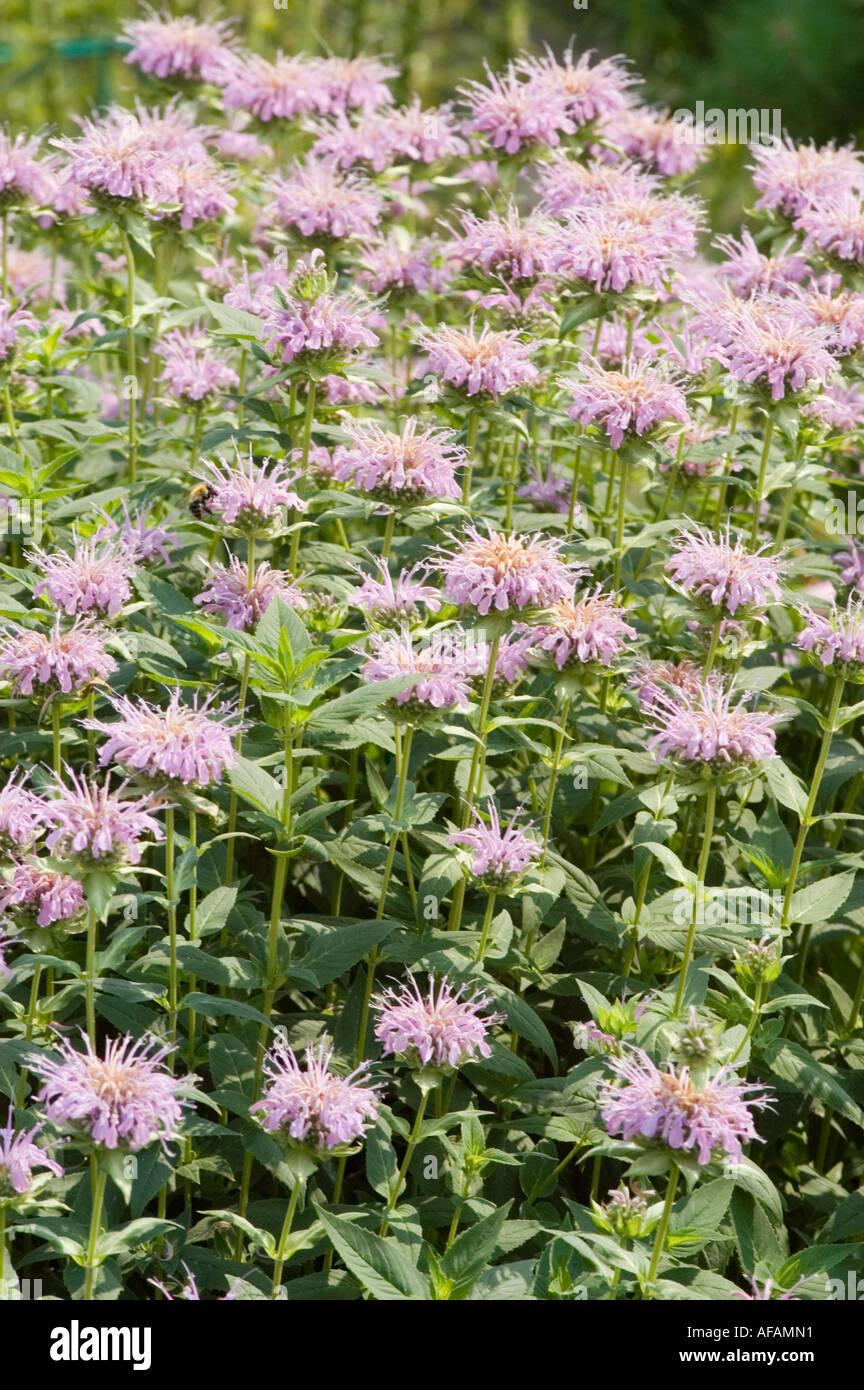 Pink flowers of Bee Balm Lamiaceae Monarda didyma - Stock Image