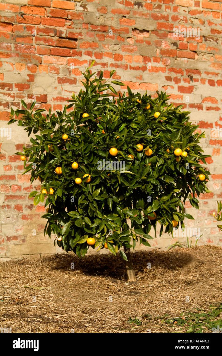 A tangelo citrus tree a cross between grapefruit and mandarin against a warm brick wall - Stock Image