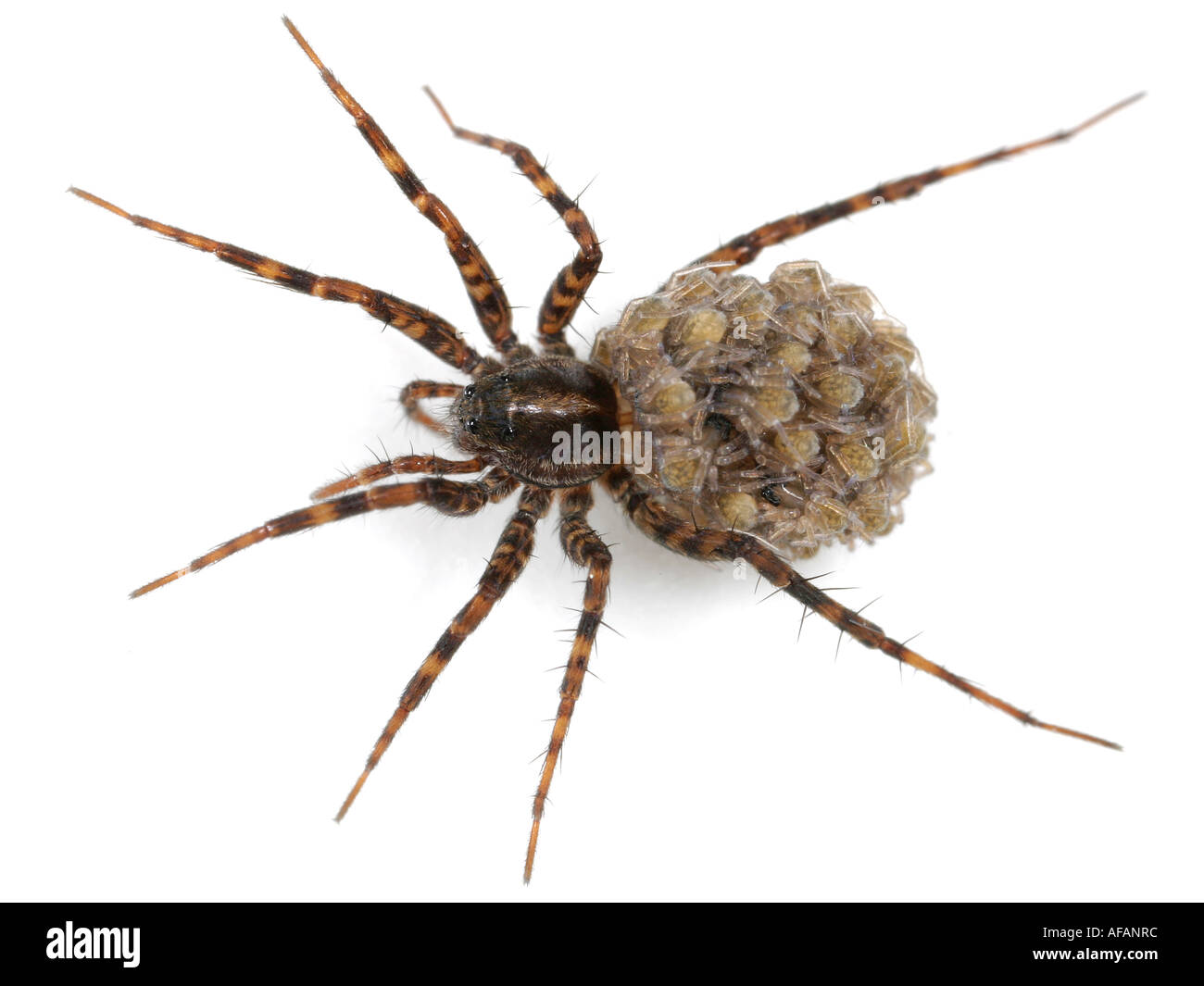 Close up of a female Wolf Spider, Pardosa, with spiderlings on her back, on white background - Stock Image