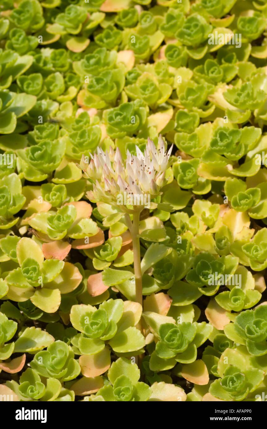 Sedum Spurium Stock Photos Amp Sedum Spurium Stock Images