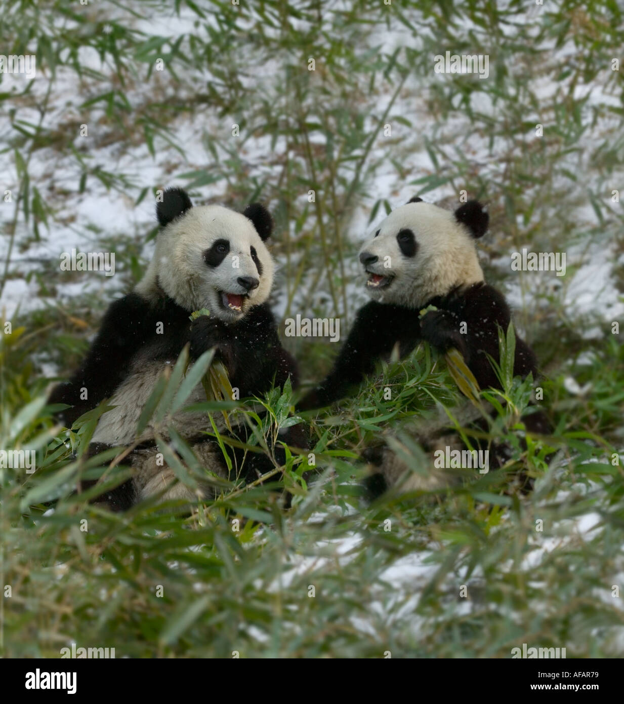 a17aff5ee37 Two Giant pandas eating bamboo in snow Wolong Panda Reserve Sichuan  Province China - Stock Image