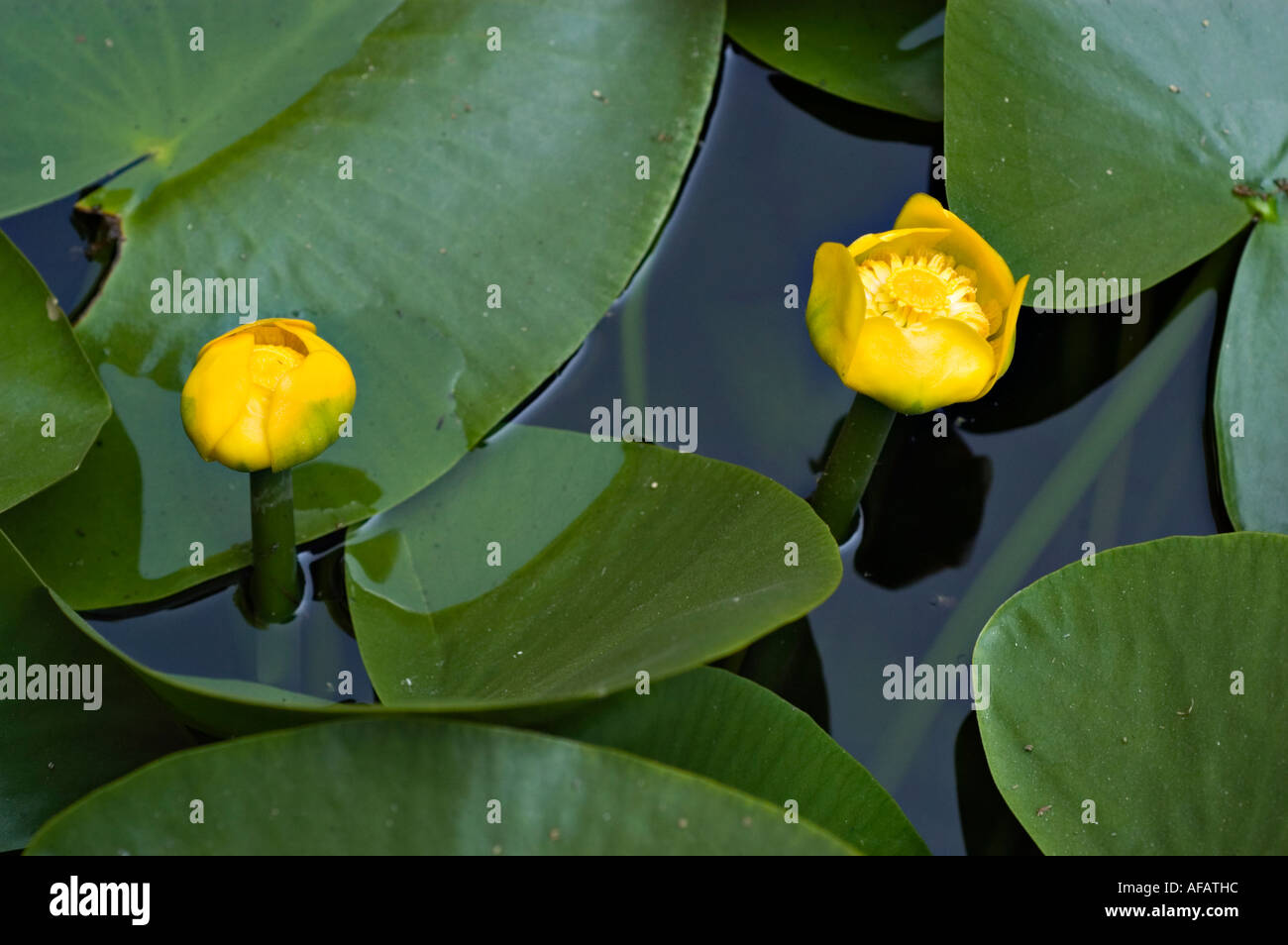 Cow lily stock photos cow lily stock images alamy yellow pond lily or cow lily or spatter dock or yellow cow lily nympheaceae nuphar lutea izmirmasajfo