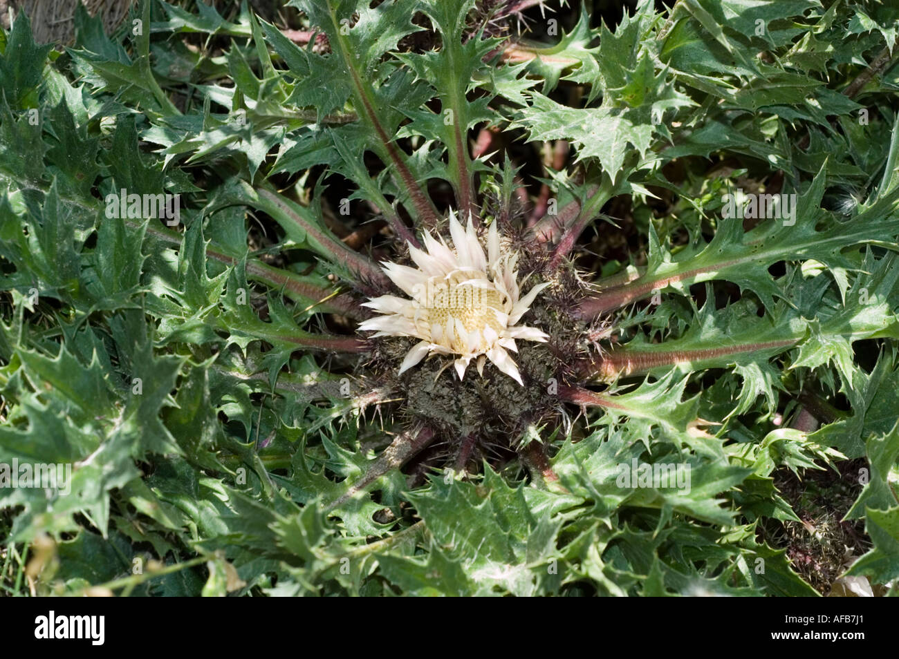White Flower Of Stemless Carline Thistle Dwarf Carline Thistle Stock