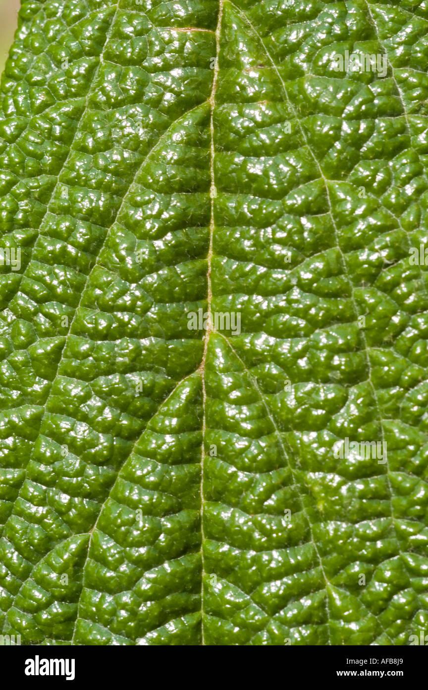leatherleaf arrowwood Viburnum rhytidophyllum - Stock Image