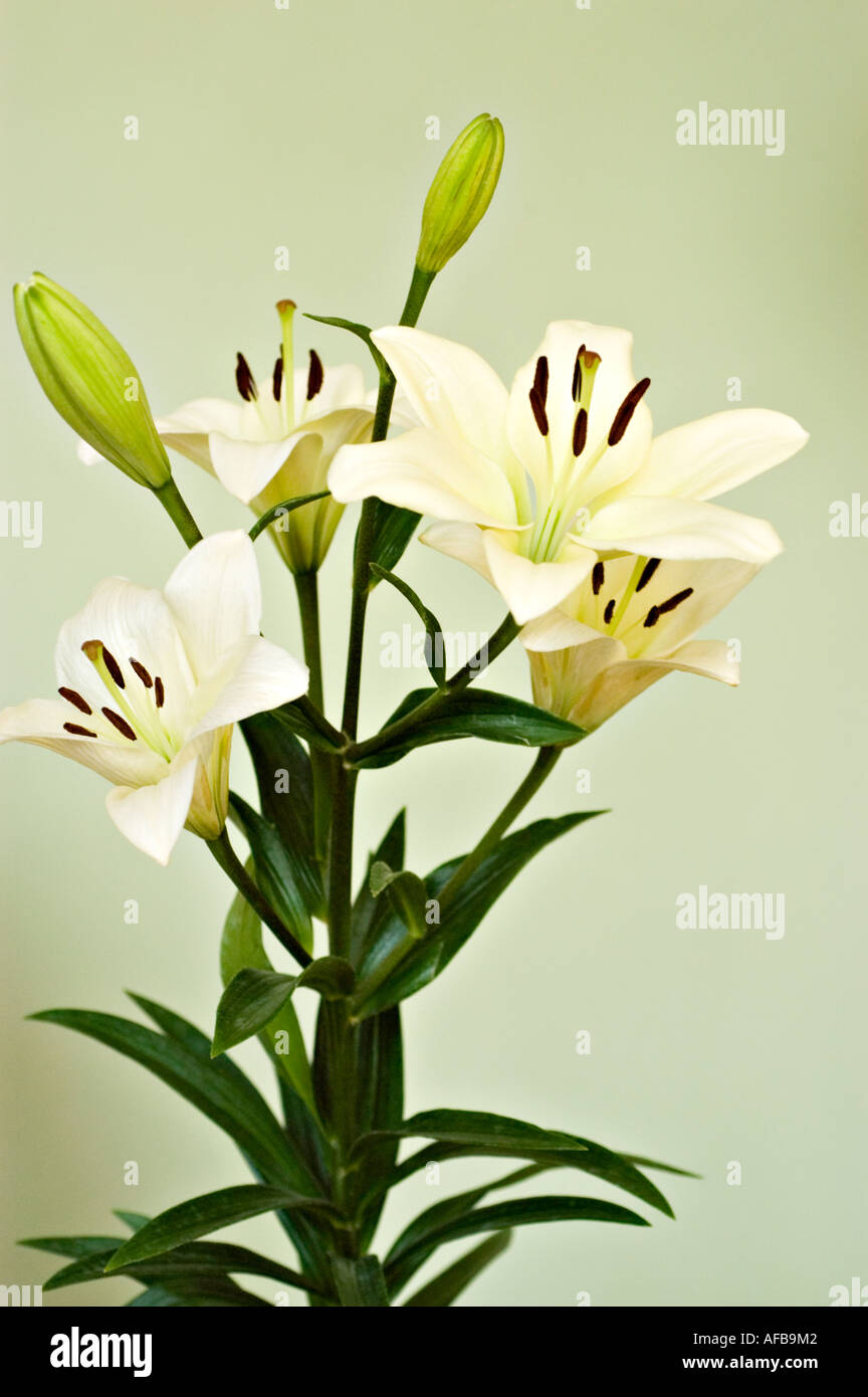 Flower Arrangement Of White Daylily Or Day Lily Courier Lilaceae