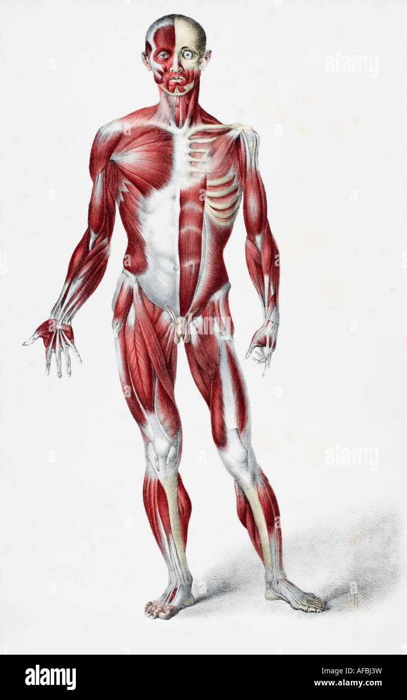 Front of the male human body showing muscles sinews and bones Stock Photo
