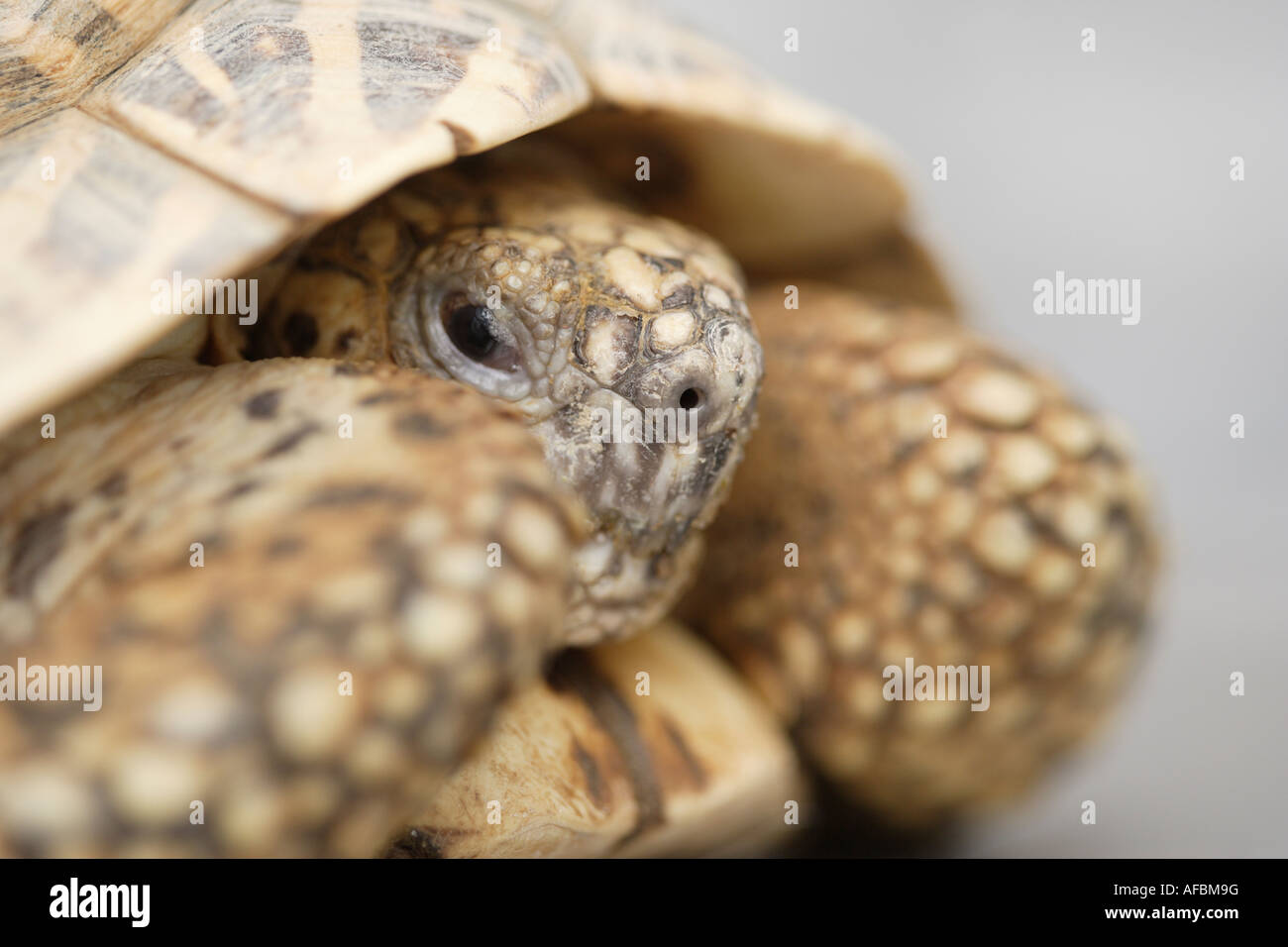 Indian star tortoise - Stock Image