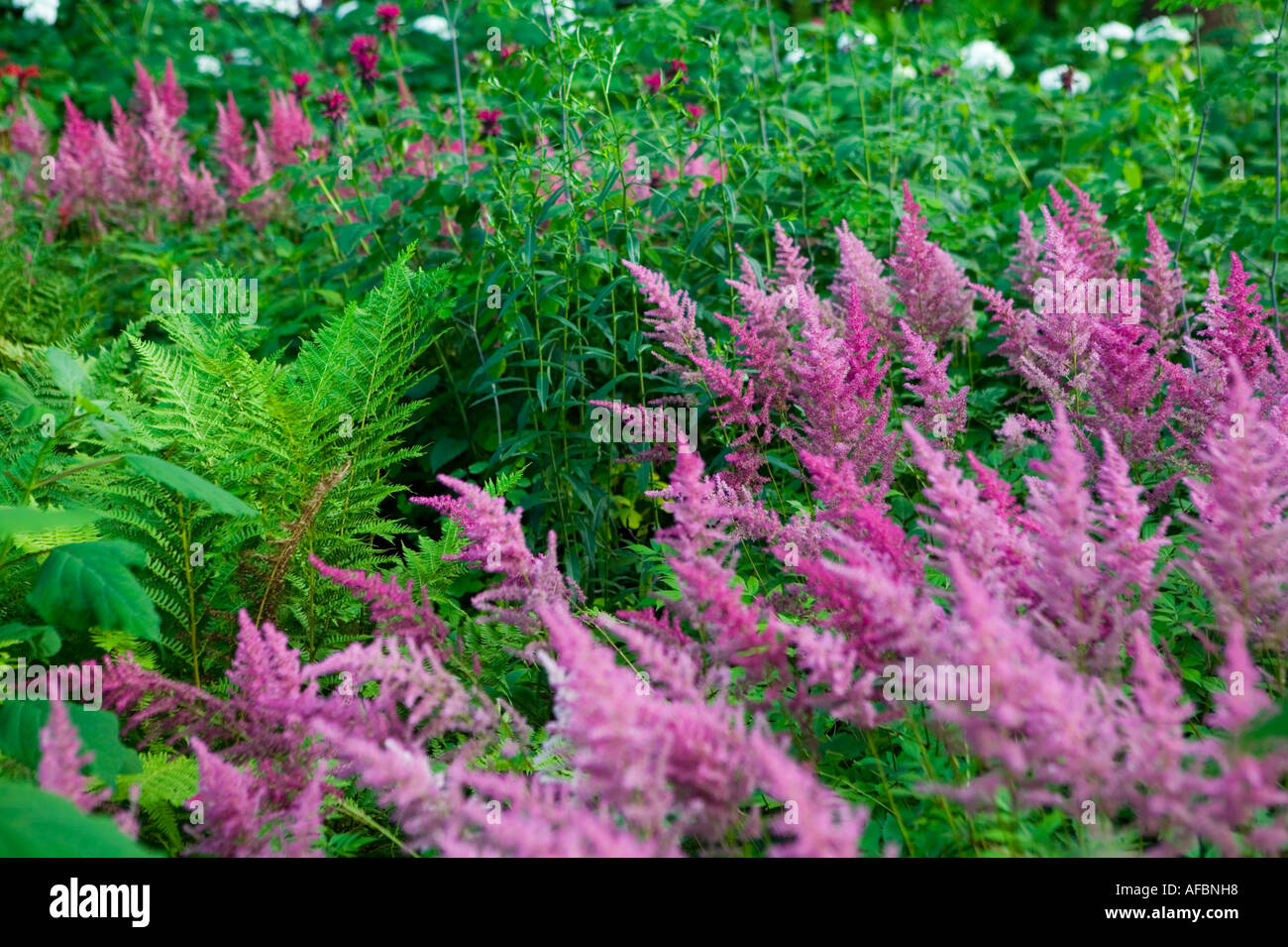 Naturalized astilbe ferns hydrangea and monarda beebalm Yaddo Gardens Saratoga Springs New York - Stock Image