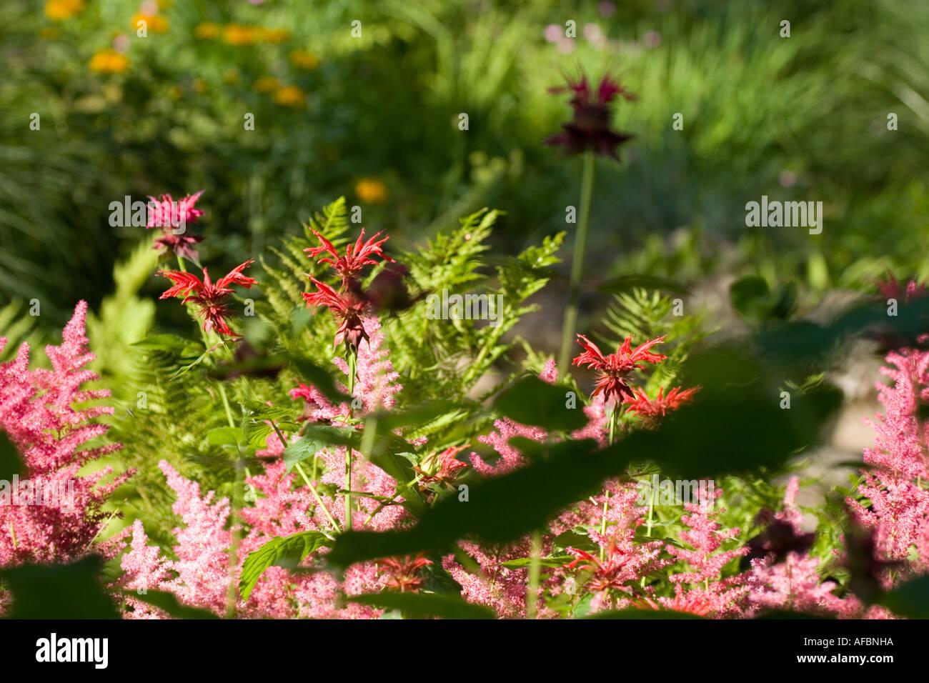Naturalized astilbe ferns and monarda beebalm Yaddo Gardens Saratoga Springs New York - Stock Image