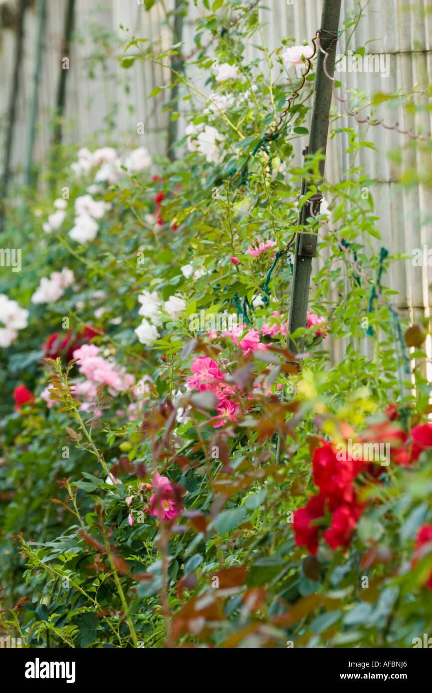 Roses and pergola Yaddo Gardens Saratoga Springs New York - Stock Image