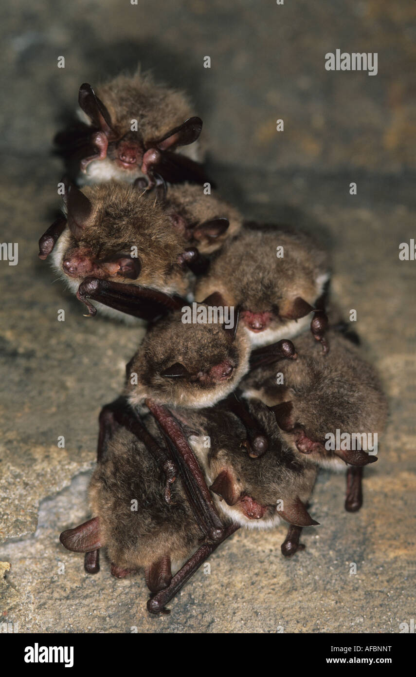Hibernating Bechstein and Natterer's bats in a disused bunker. - Stock Image