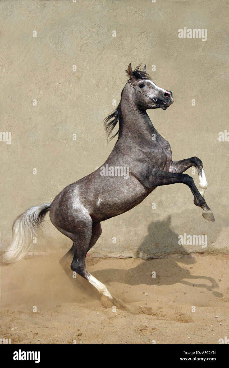 Asil Arabian Horse Rearing Stock Photo Alamy