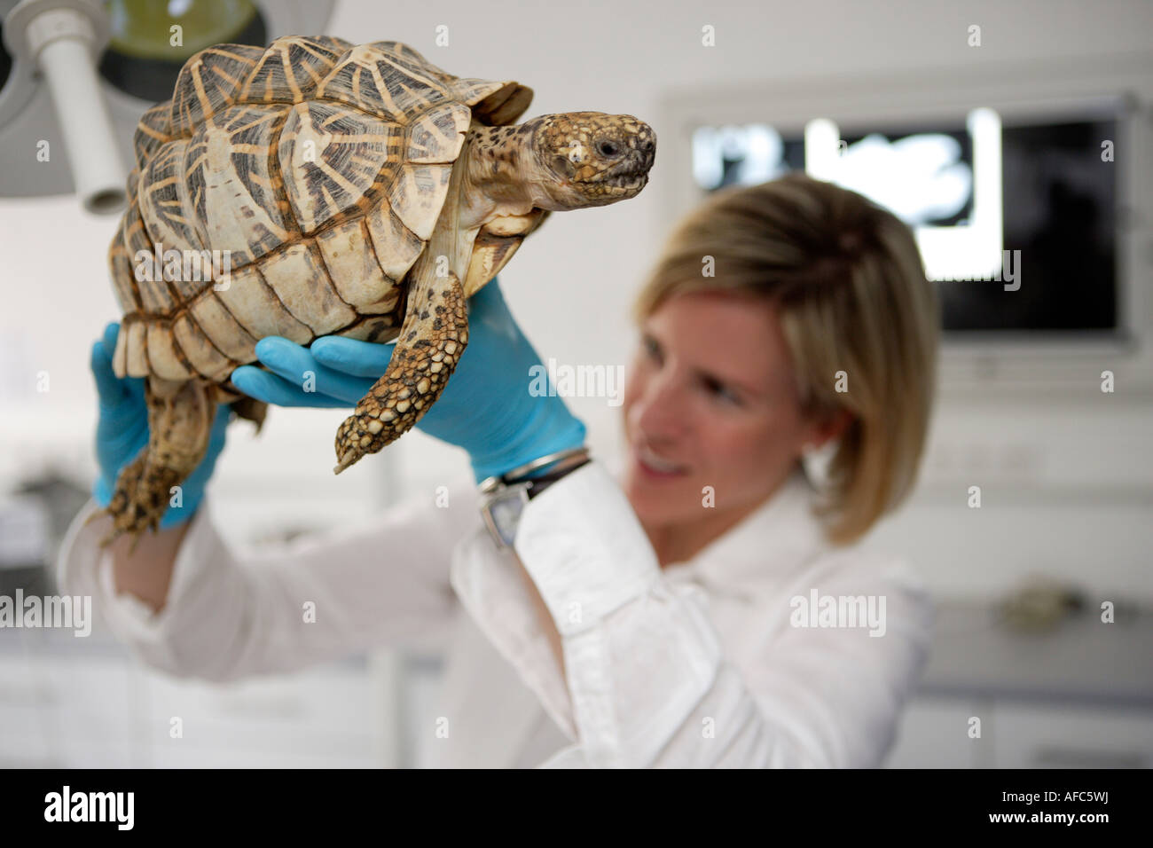 The zoo veterinary surgeon of the zoo Allwetterzoo Dr Sandra Silinski during her work with a indian star tortoise - Stock Image