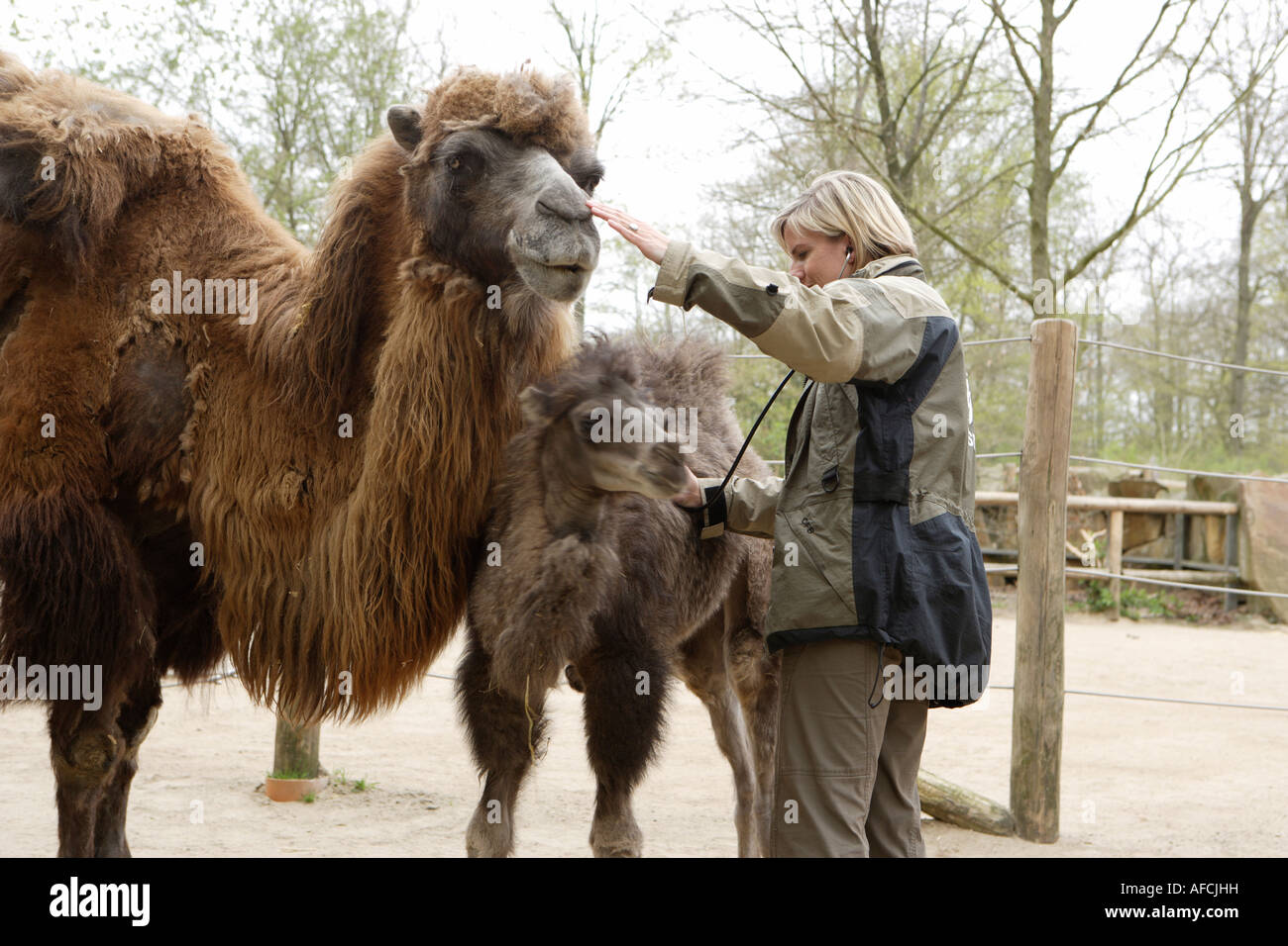 The zoo veterinary surgeon of the zoo Allwetterzoo Dr Sandra Silinski with the Bactrian camels - Stock Image