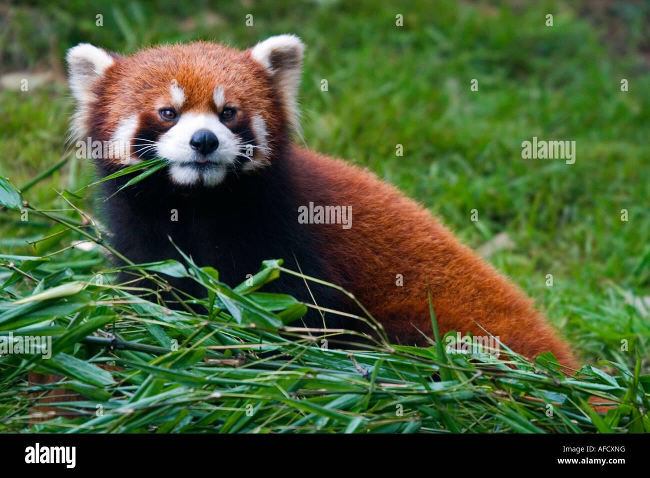 Red Panda Chengdu Panda Breeding Center Guanxi Province China - Stock Image