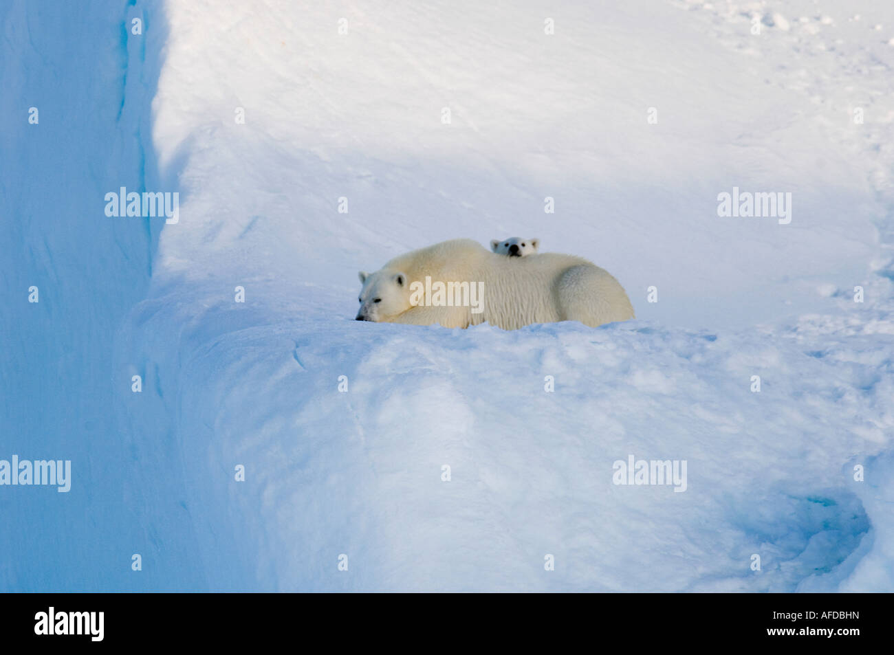 Female polar bear and five month old cub at iceberg Navy Board Lancaster Sound Baffin Island - Stock Image