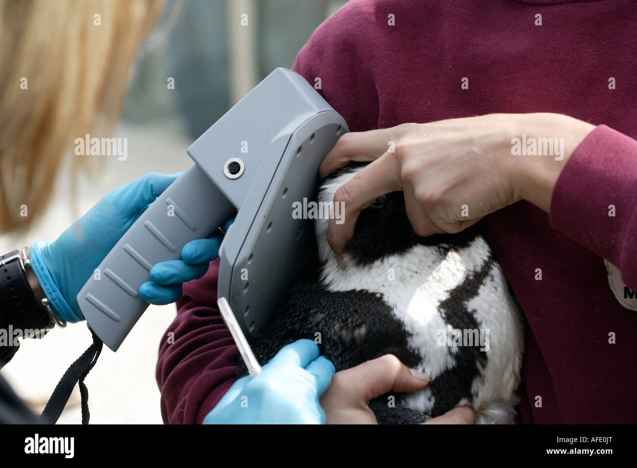 The zoo veterinary surgeon Dr Sandra Silinski injected a jackass penguin an identification chip - Stock Image