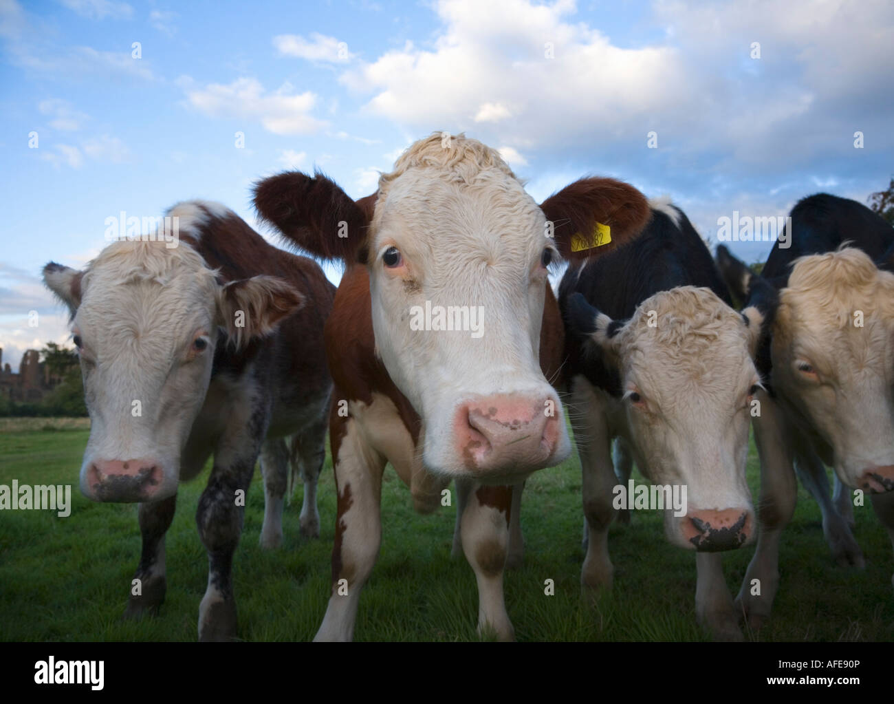Group of Curious Cattle England Stock Photo
