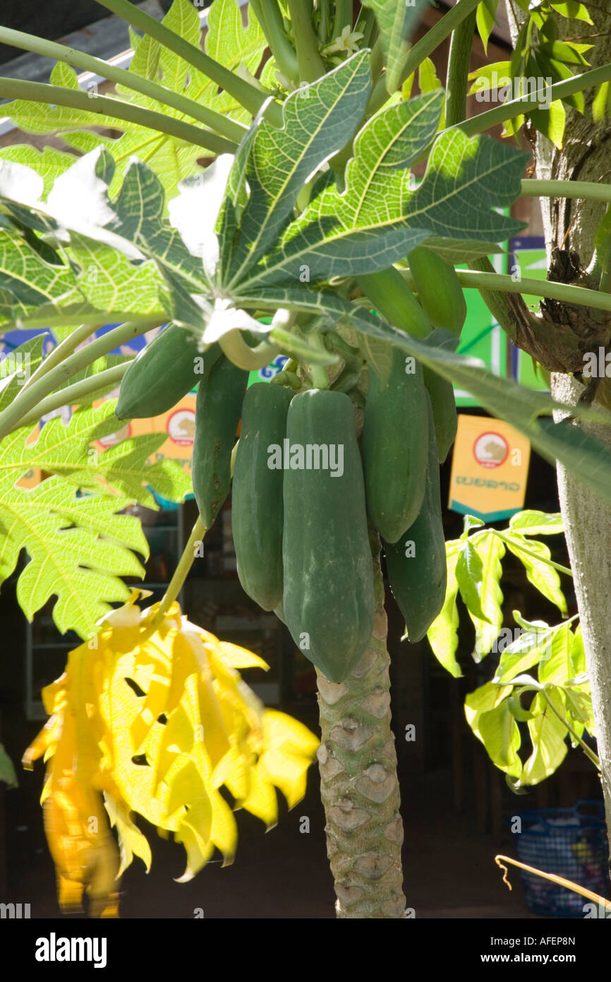 Papaya fruit on tree, with Beerlao adverts in background, in Laos - Stock Image