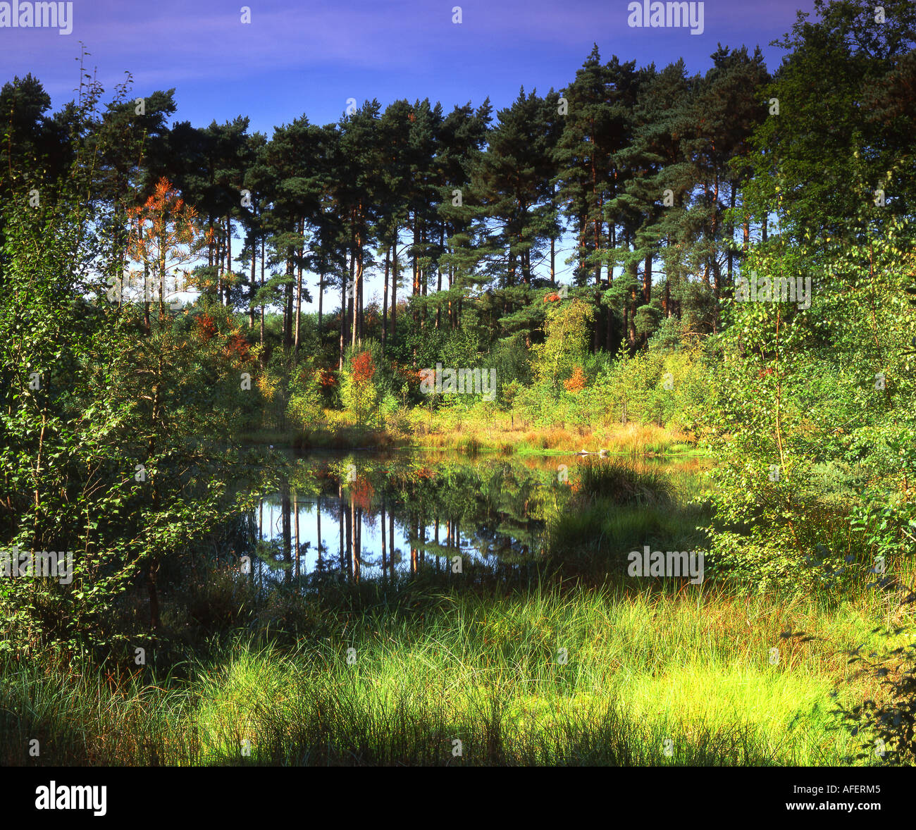 Black Lake Delamere Forest at the Turn of Autumn Cheshire England UK - Stock Image