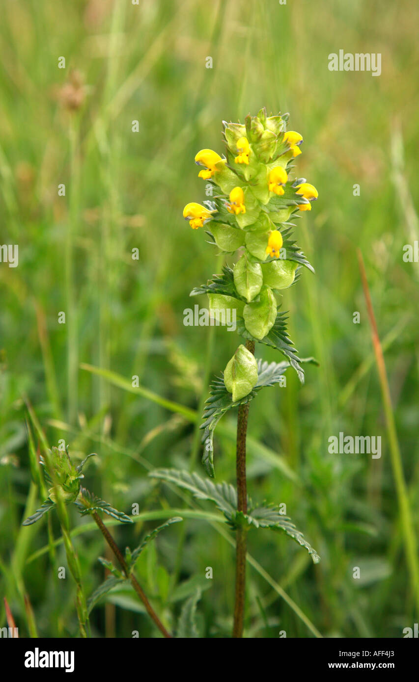 Yellow rattle Rhinanthus minor growing in species rich grassland at Queendown Warren on the North Downs of Kent - Stock Image