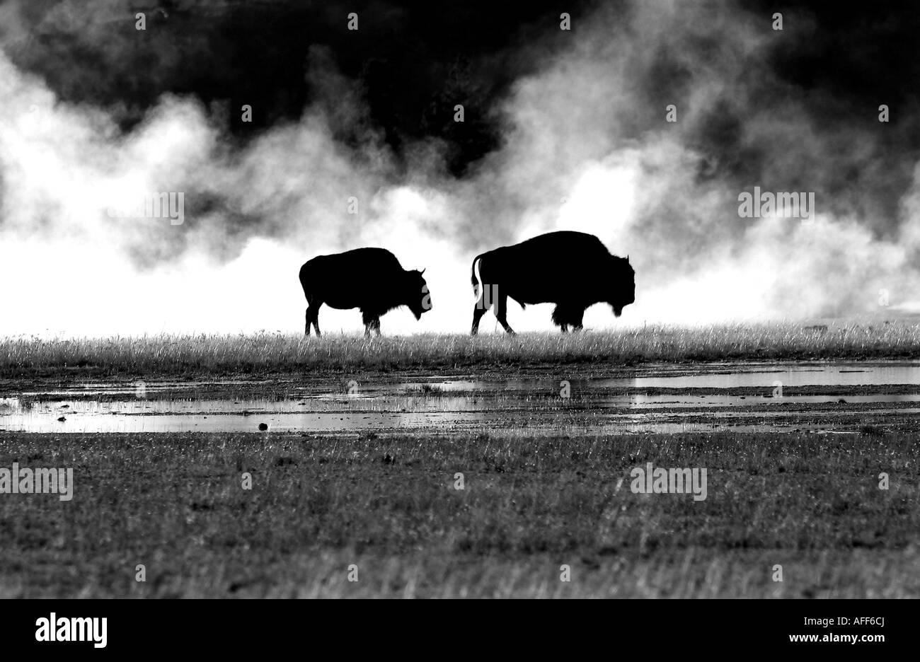 buffalo at the vents - Stock Image