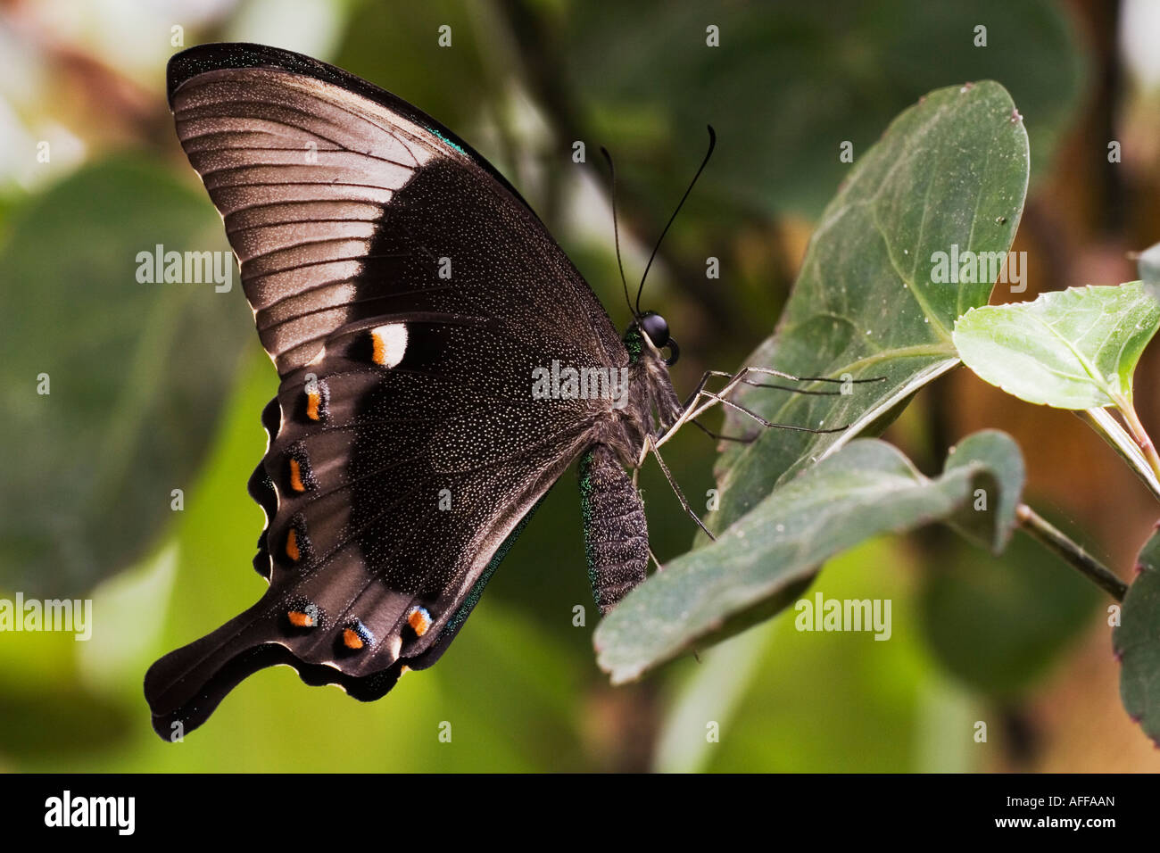 Green Banded Peacock Butterfly (Papilio palinurus) resting on leaf - Stock Image