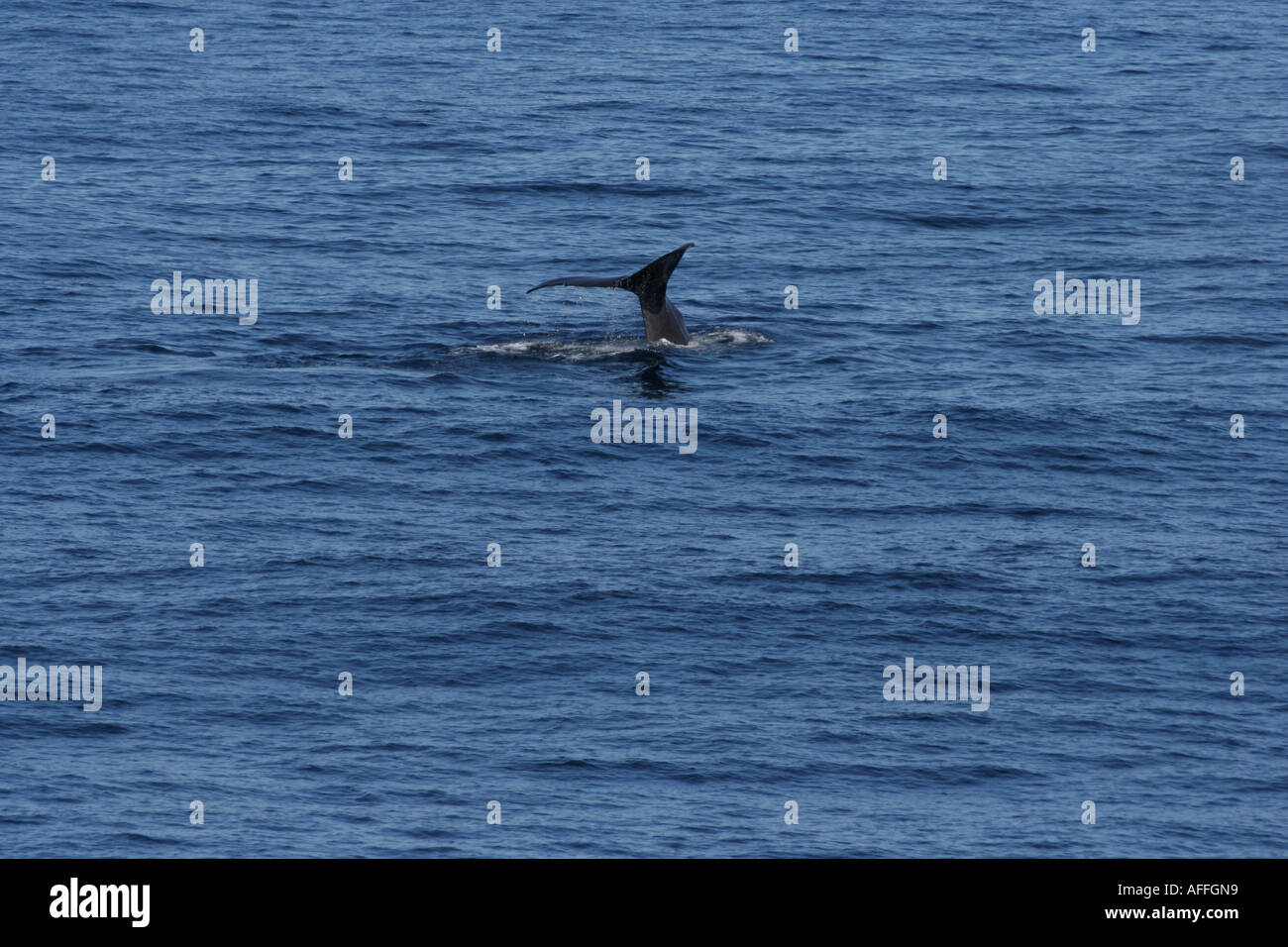 The spermwhale can dive to depths of more than a thousand meter searching for giant squids. - Stock Image