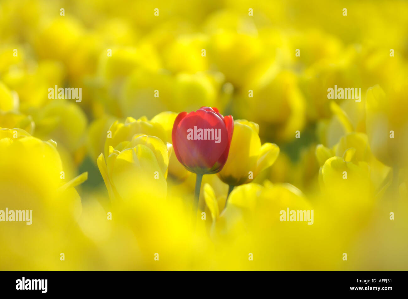 Single red tulip growing amongst yellow tulips in the fens near Spalding Lincolnshire England UK - Stock Image