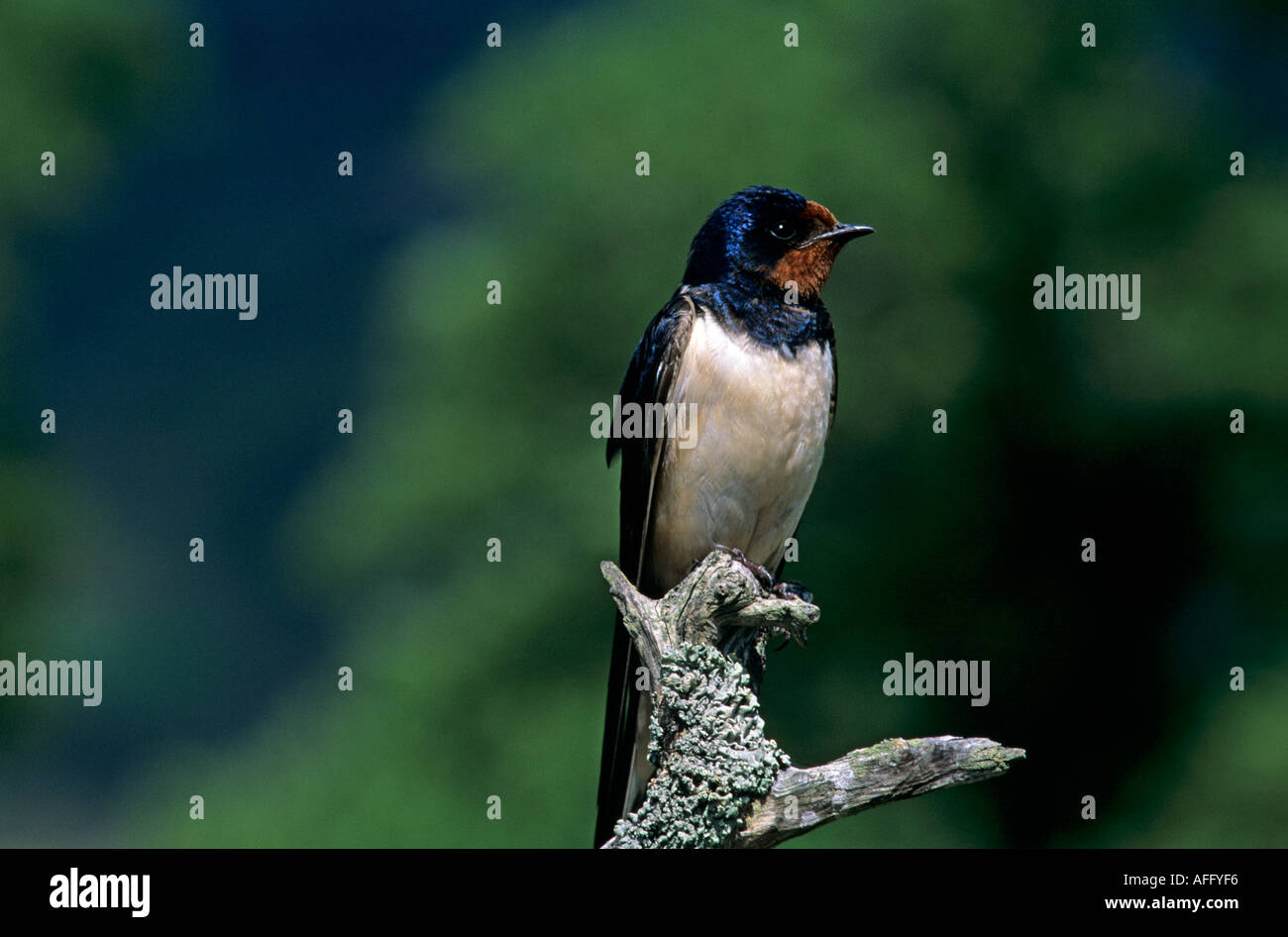 Swallow perched on twig, british summer migrant, Scotland, UK - Stock Image