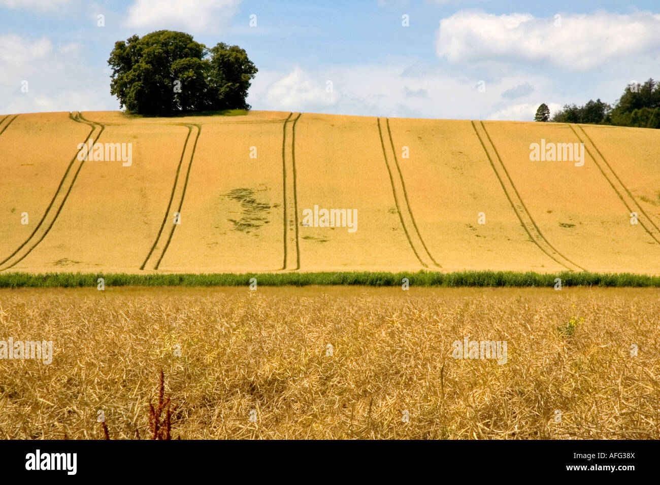 Fields ready for harvest - Stock Image