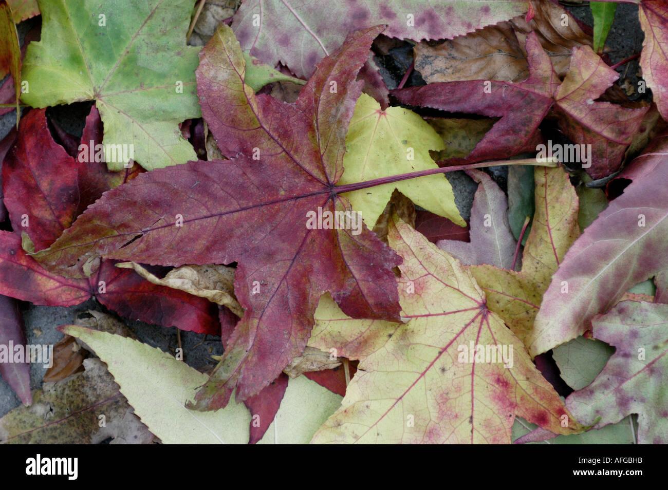 082 Herbstlaub Ahornblaetter am Boden liegend Stock Photo