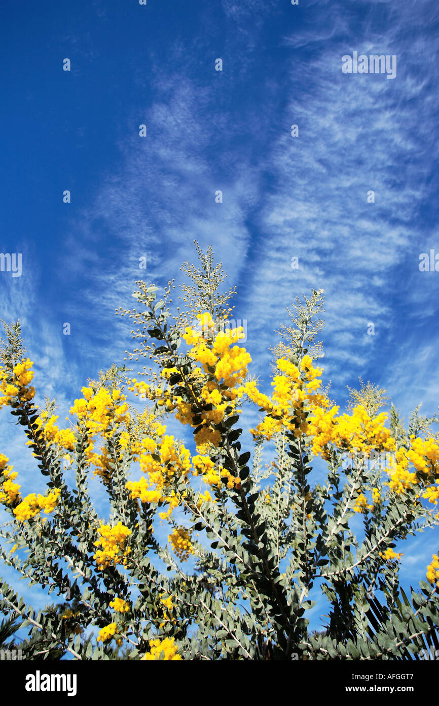 Flowering Acacia Tree Yellow Flowers Blue Sky Stock Photo 7966854