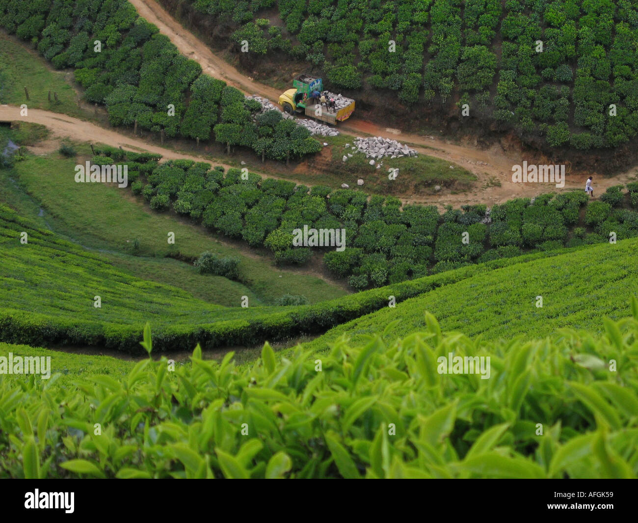 Tea plantation near the Hill Station of Munnar in Kerala in Southindia - Stock Image
