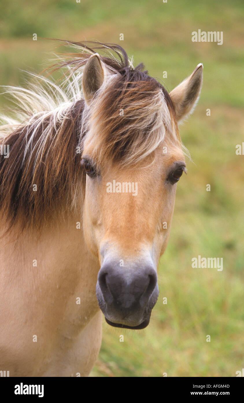 Norwegian Fjord Horse - portrait - Stock Image