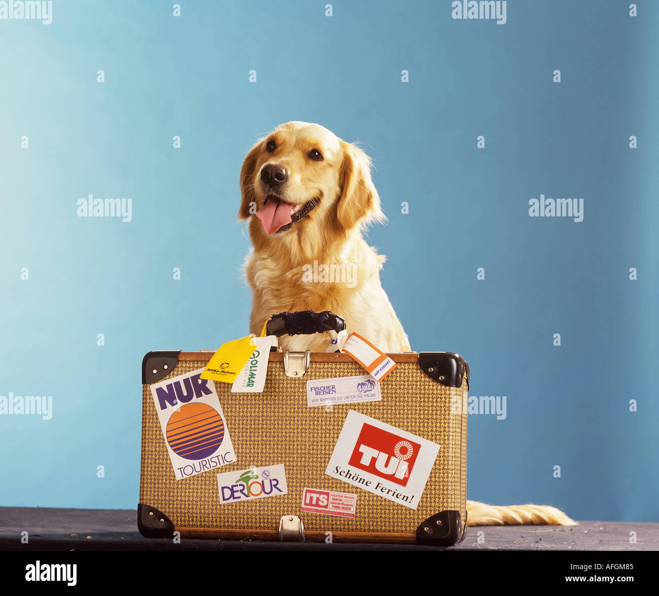 Golden Retriever Suitcase Stock Photos & Golden Retriever Suitcase ...