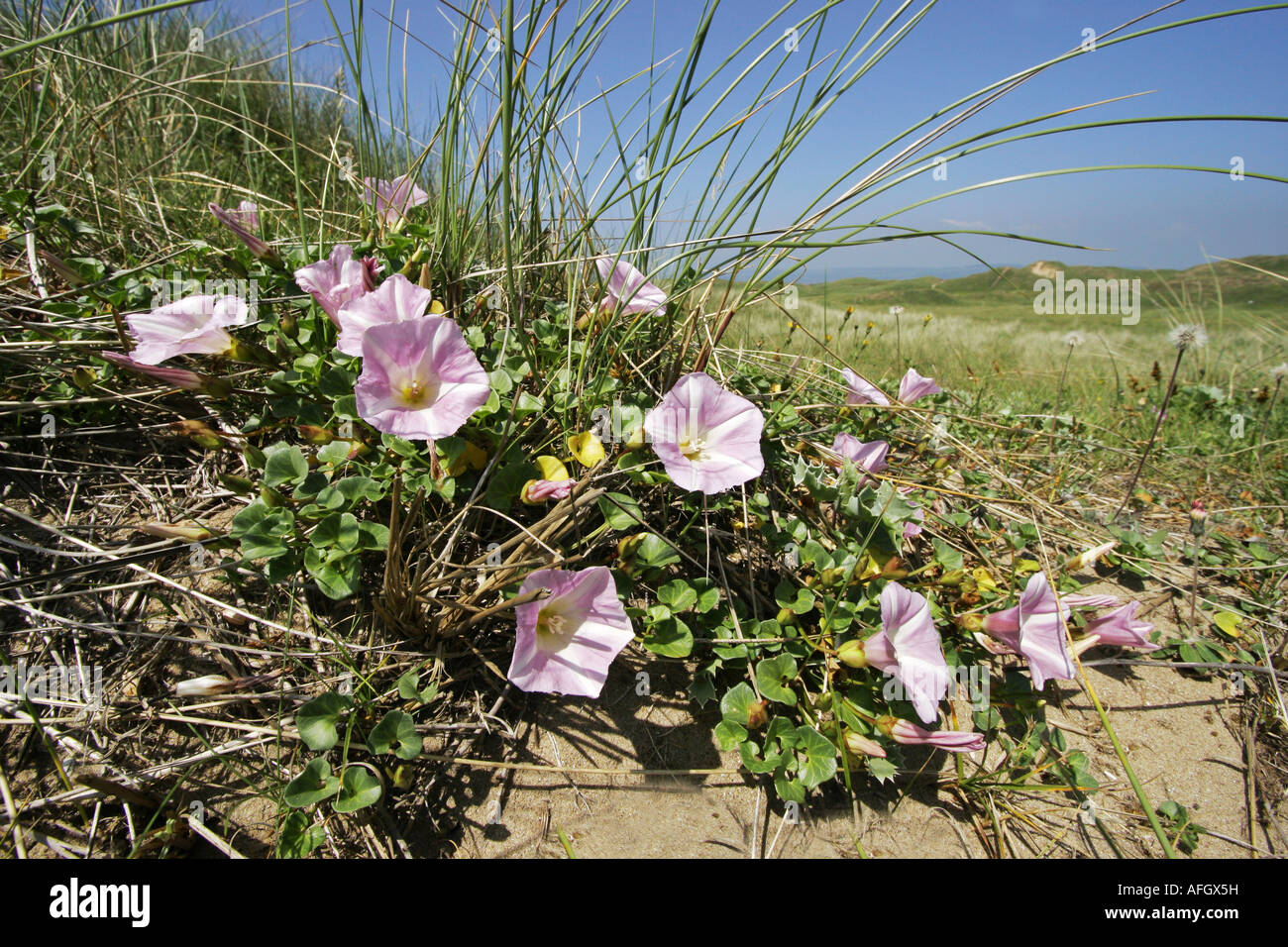 Sea Bindweed Convolvulus soldanella growing in Marram dunes at Kenfig Burrows in South Wales - Stock Image