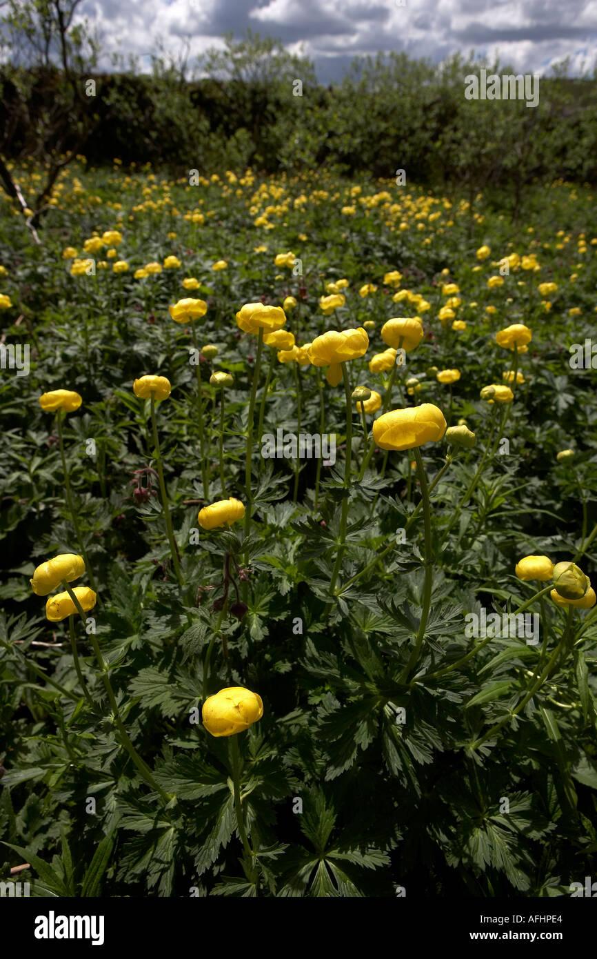 Wild Yellow Perennial Globe Flowers Trollius Europaeus With Foliage