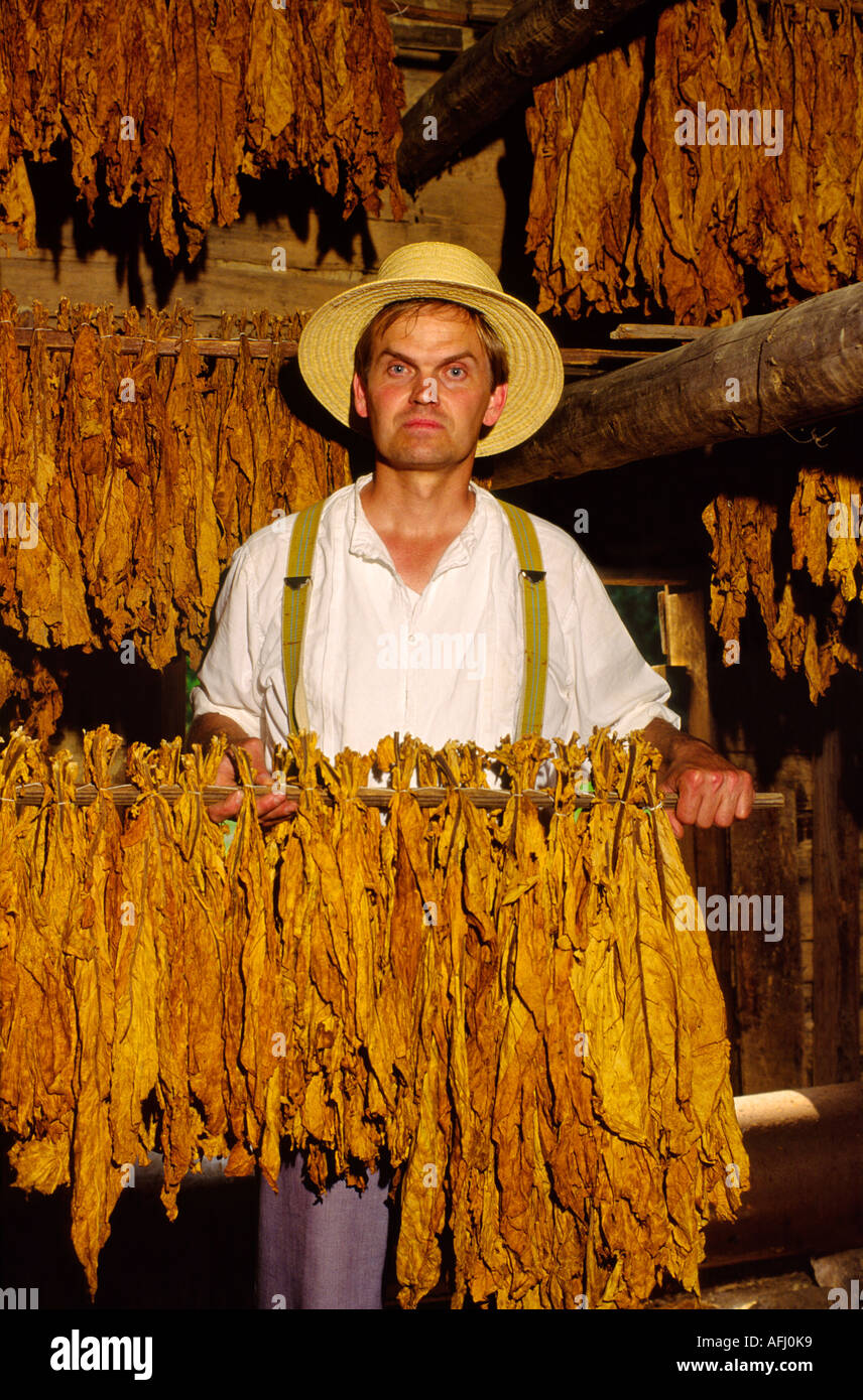 Man holds stick of tobacco leaves inside curing shed at the historic Duke Homestead near town of Durham, North Carolina, USA - Stock Image
