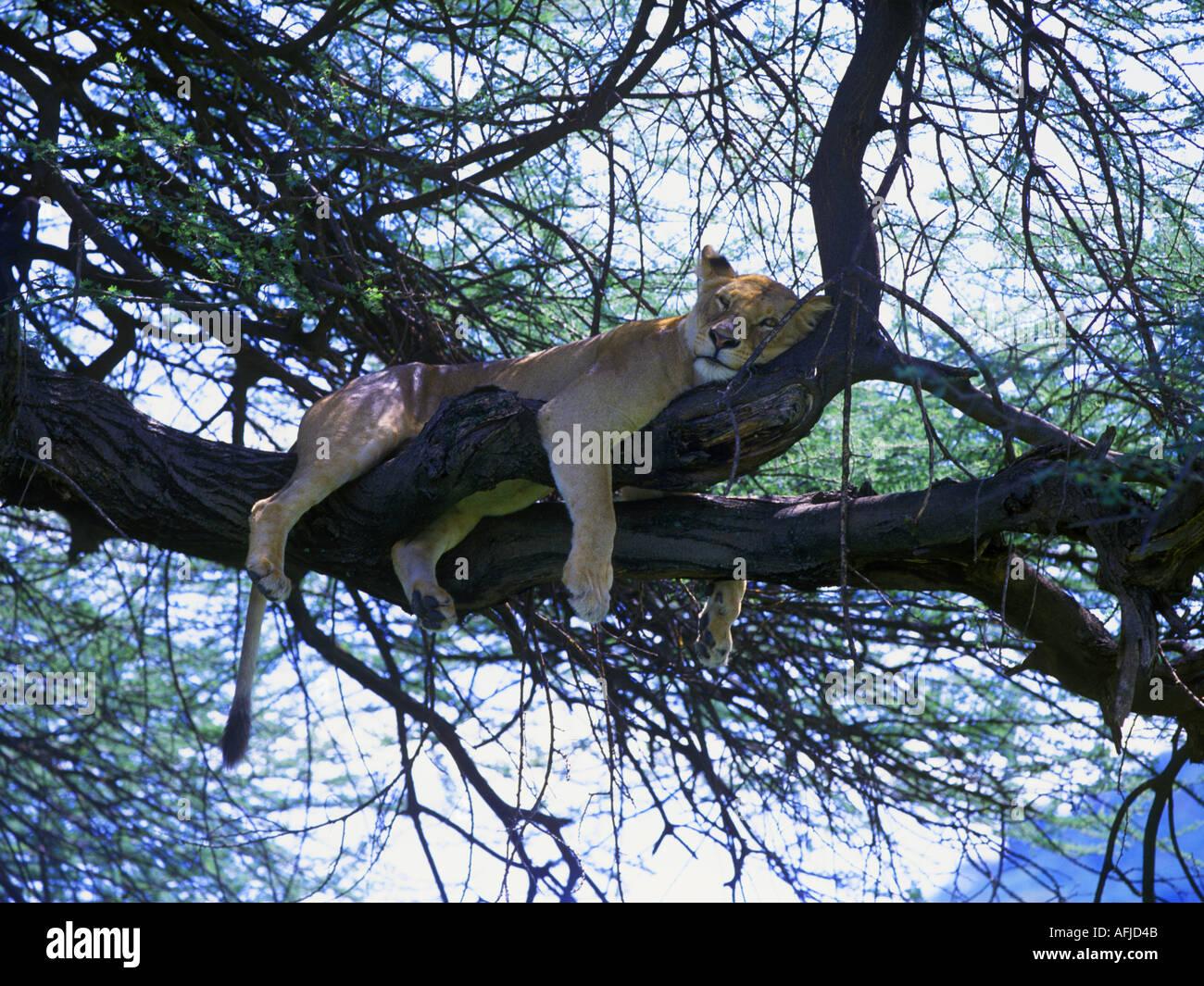 Lion Panthera leo female resting in tree Lake Manyara National Park Tanzania Africa - Stock Image