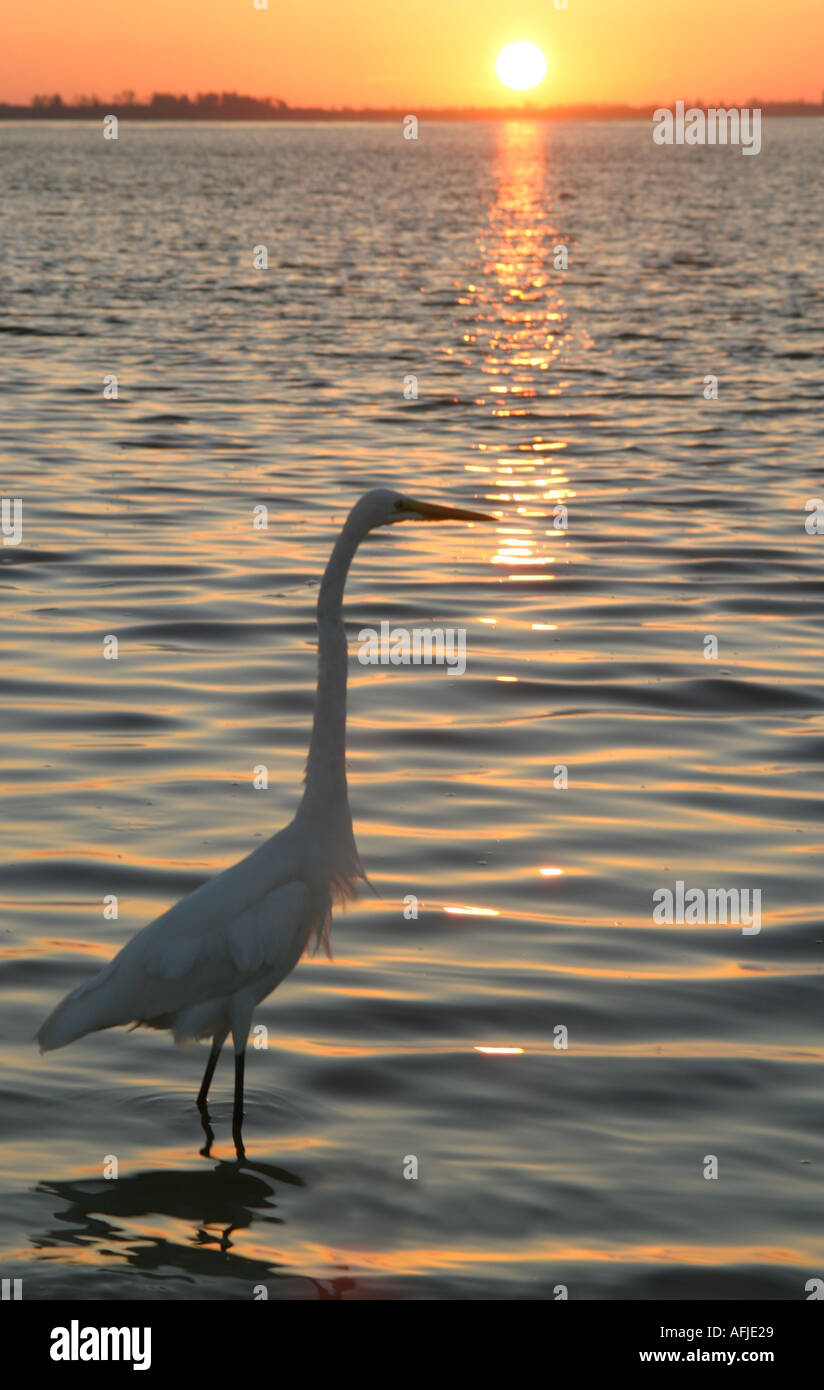 A Great Egret Ardea Alba off the coast of Sanibel island in South West Florida  - Stock Image