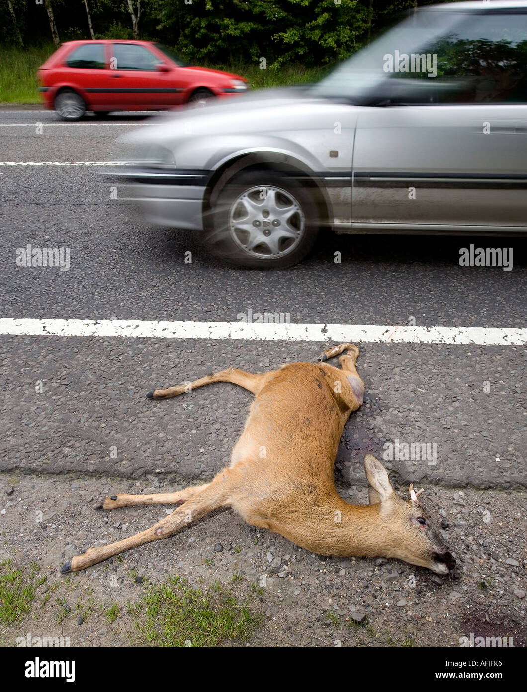 A young Deer lies on the side of a road after becoming a casualty of road kill in Warwickshire England UK Stock Photo