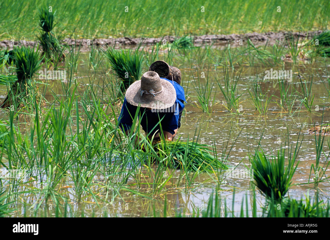 Nr Chengyang village, Guangxi Province. A village woman - and member of the Dong minority nationality - tends a Stock Photo