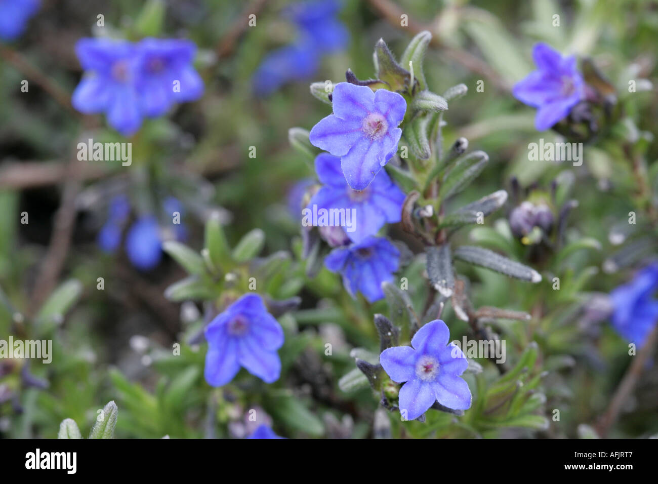 Cynoglossum amabile tall chinese forget me not forget me not plant cynoglossum amabile tall chinese forget me not forget me not plant with five 5 petals and blue flowers izmirmasajfo
