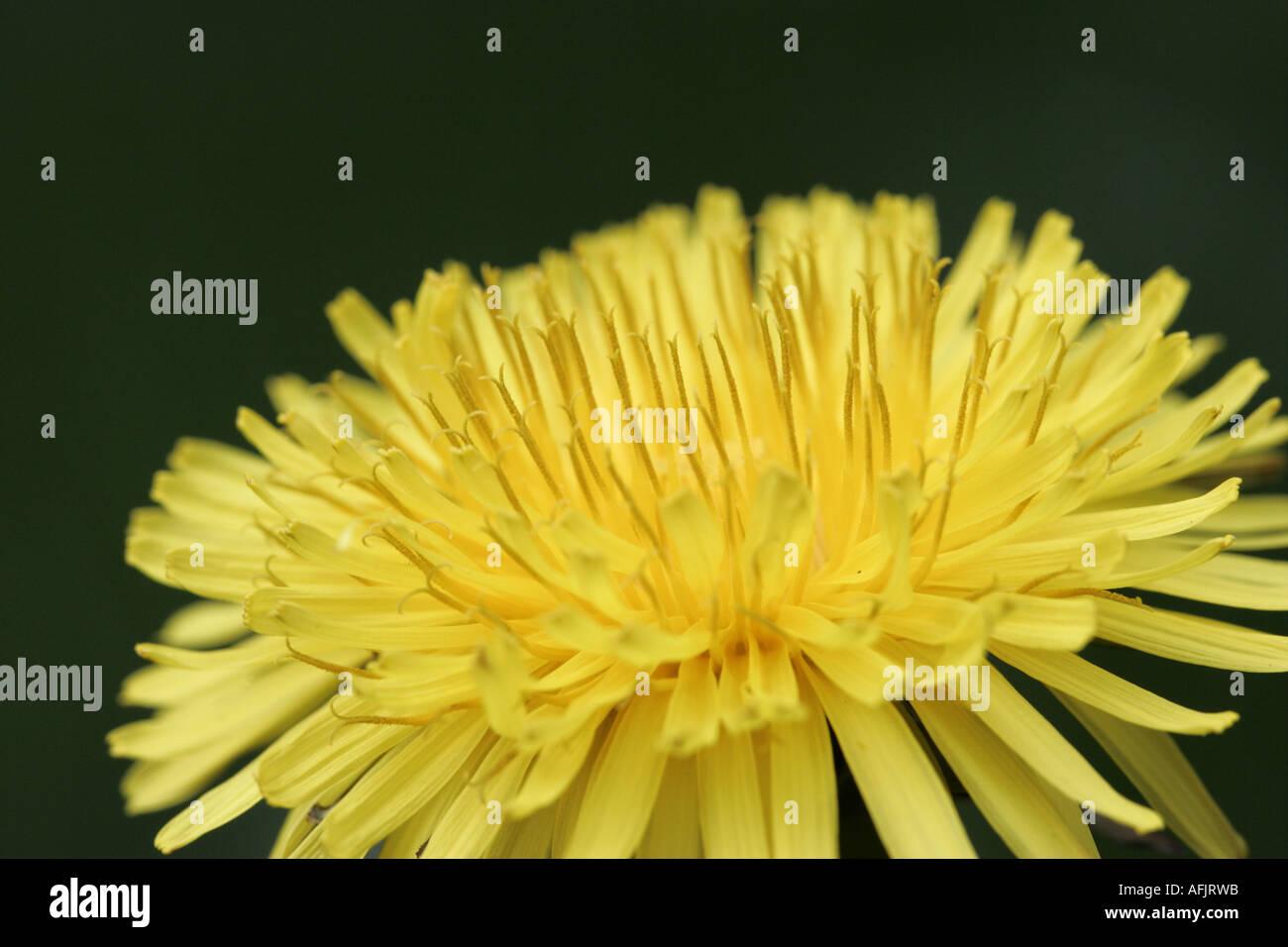 flower head of dandelion taraxacum officinale flower in garden family N O Compositae - Stock Image